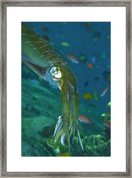 Close-up Of A Squid, Lembata Island Framed Print by Jaynes Gallery