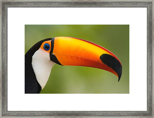 Close-up Of A Toco Toucan Ramphastos Framed Print