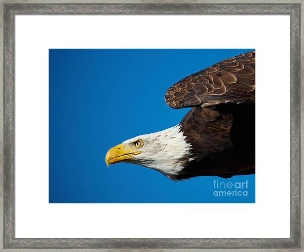Close-up Of An American Bald Eagle In Flight Framed Print