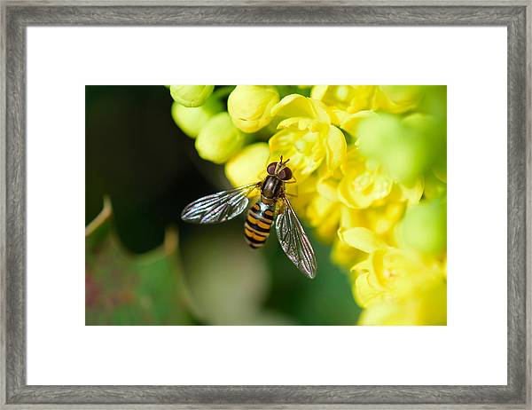 Close-up Of Bee Pollinating On Yellow Flower Framed Print by Pete Vandal / EyeEm