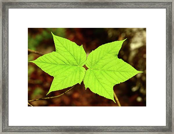 Close Up Of The Paired Leaves Framed Print
