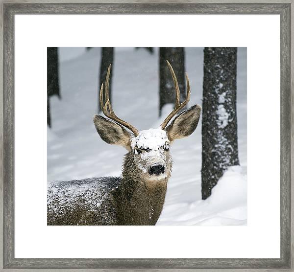 Close Up Of Winter Buck Framed Print