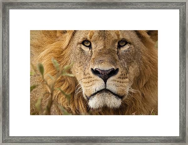 Close-up Portrait Of A Majestic Lion's Solemn Face Framed Print by WLDavies