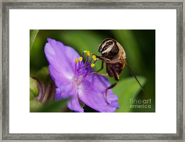 Closeup Of A Bee On A Purple Flower Framed Print