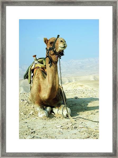 Closeup Of A Camel Framed Print