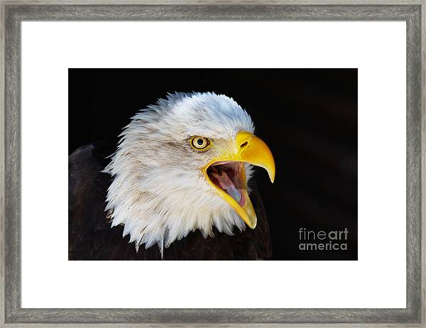 Closeup Portrait Of A Screaming American Bald Eagle Framed Print