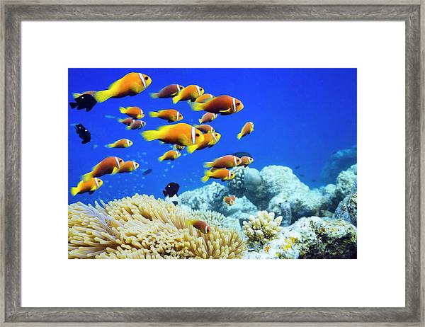 Clown Fish In Anemone Framed Print by Cinoby