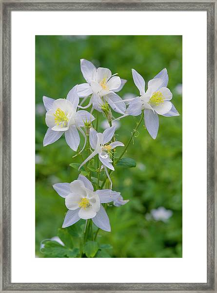 Cluster Of Columbine In Alpine Meadow Framed Print