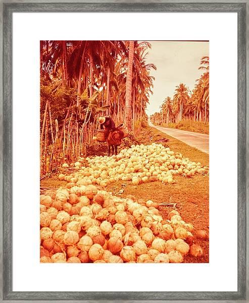 Coconut Harvest Beside Main Highway Framed Print