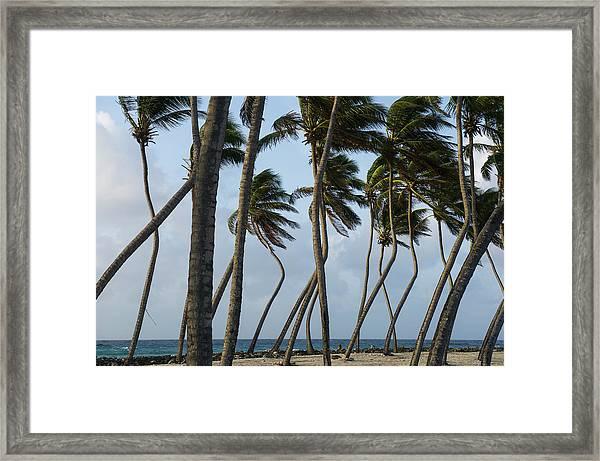 Coconut Palm (cocos Nucifera Framed Print by Pete Oxford