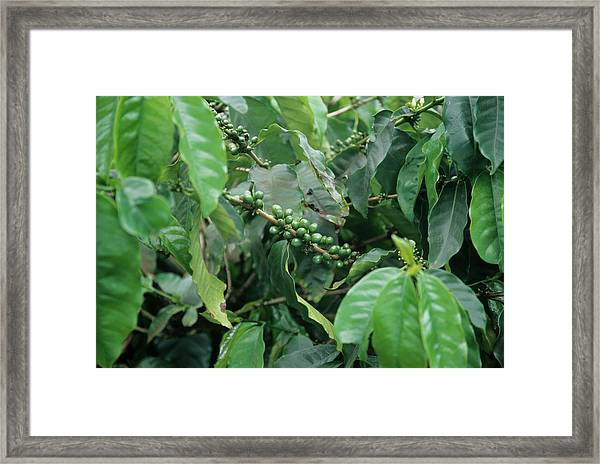 Coffee Plant Framed Print by Cristina Pedrazzini/science Photo Library