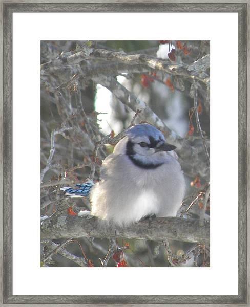 Cold Canadian Bluejay Framed Print