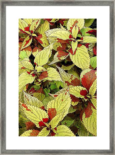 Coleus Detail Framed Print