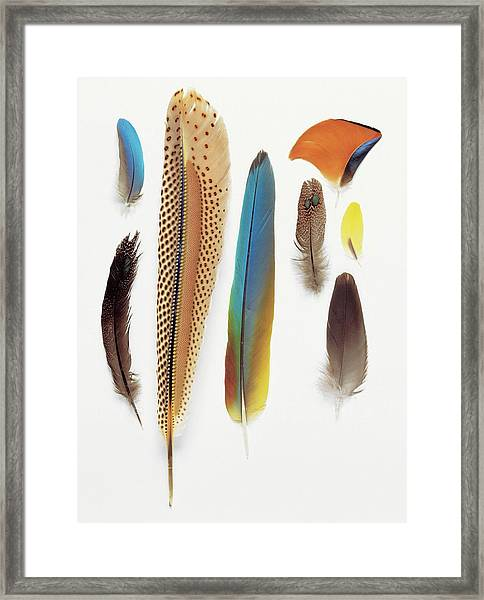 Collection Of Pigeon Feathers Framed Print