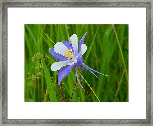 Colorado Columbine Framed Print