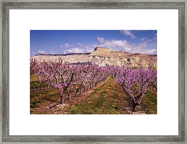 Colorado Orchards In Bloom Framed Print