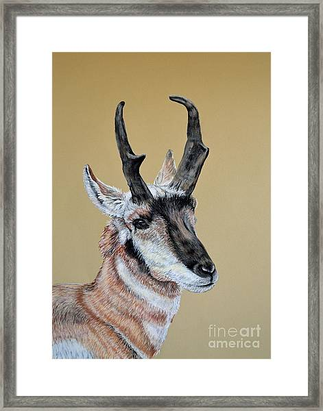 Colorado Plains Antelope Framed Print by Ann Marie Chaffin