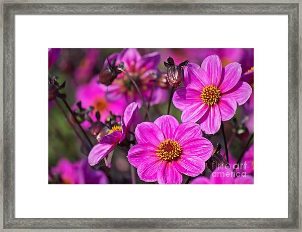 Colorful Dahlia Framed Print