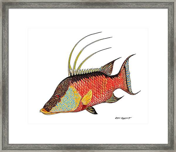 Colorful Hogfish Framed Print
