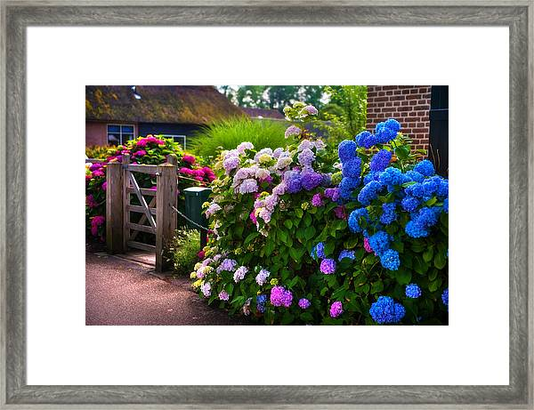 Colorful Hydrangea At The Gate. Giethoorn. Netherlands Framed Print