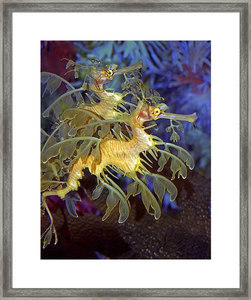 Colorful Leafy Sea Dragons Framed Print