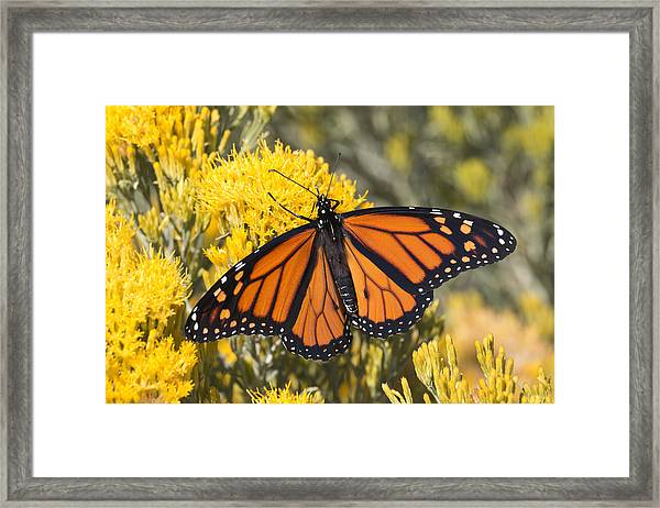 Colorful Monarch Butterfly Denver Colorado Framed Print by Milehightraveler
