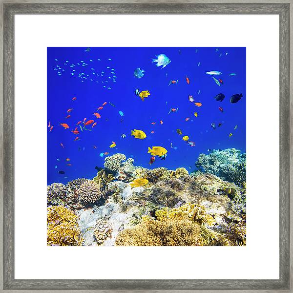 Colorful Tropical Fish On Red Sea Framed Print by Cinoby