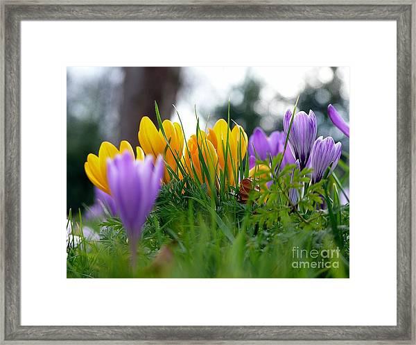 Colourful Crocus Framed Print