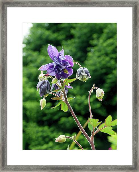 Columbine (aquilegia 'woodside') Framed Print