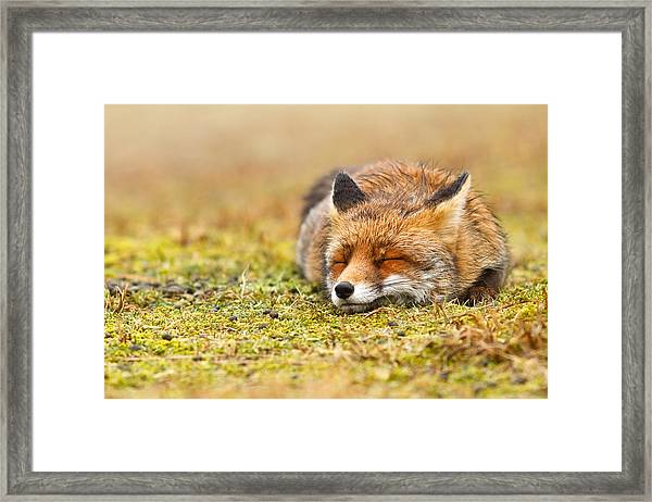 Comfortably Fox Framed Print