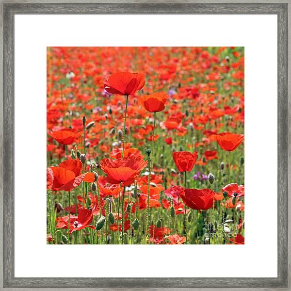 Commemorative Poppies Framed Print