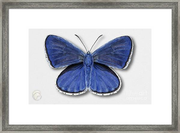 Common Blue Butterfly - Polyommatus Icarus Butterfly Naturalistic Painting - Nettersheim Eifel Framed Print