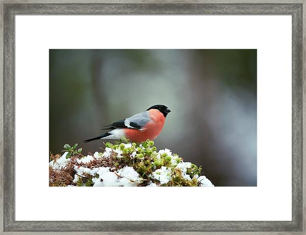 Common Bullfinch Framed Print by Dr P. Marazzi/science Photo Library
