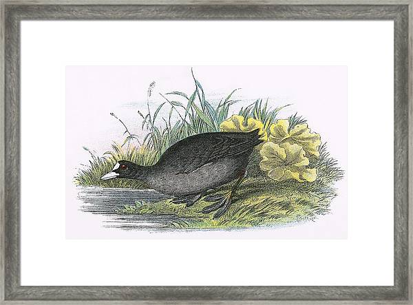 Common Coot Framed Print