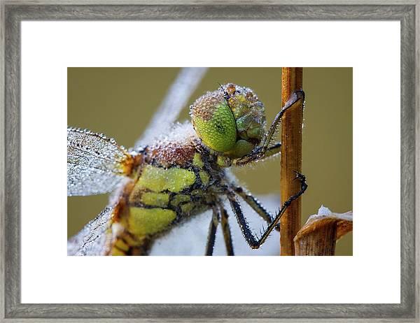 Common Darter Dragonfly Framed Print by Heath Mcdonald