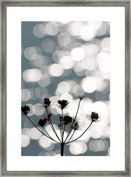 Common Hogweed (heracleum Sphondylium) Framed Print by Dr. John Brackenbury/science Photo Library