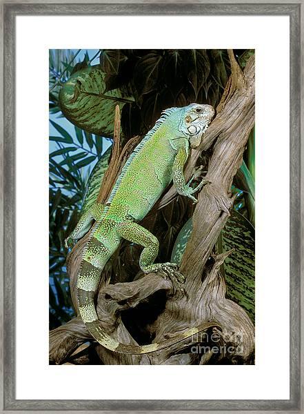 Common Iguana Framed Print