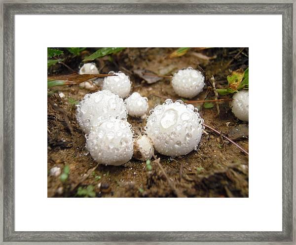 Common Puffball Dewdrop Harvest Framed Print