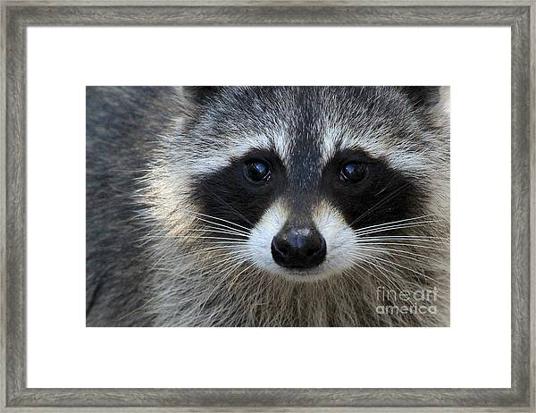 Common Raccoon Framed Print