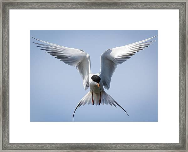 Common Tern Framed Print