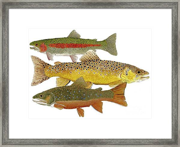 Common Trout  Rainbow Brown And Brook Framed Print