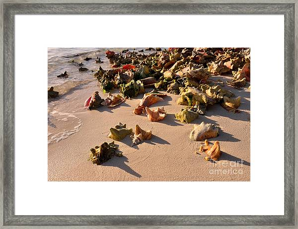 Conch Collection Framed Print