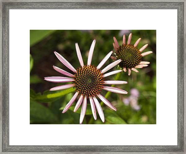 Cone Flower - 1 Framed Print