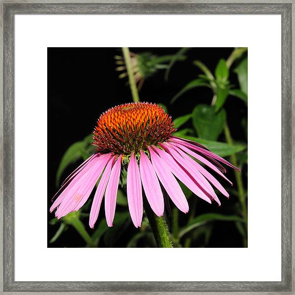 Framed Print featuring the photograph Cone Flower by David Armstrong