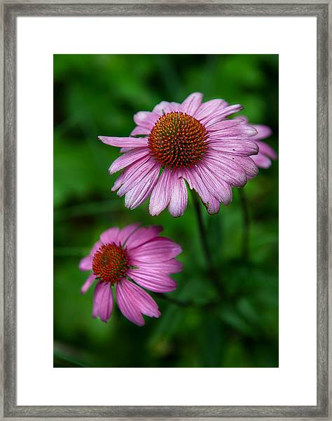 Cone Flowers Framed Print