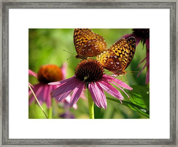 Coneflower Butterflies Framed Print