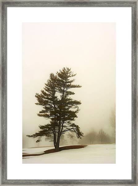 Coniferous Tree In Winter Framed Print