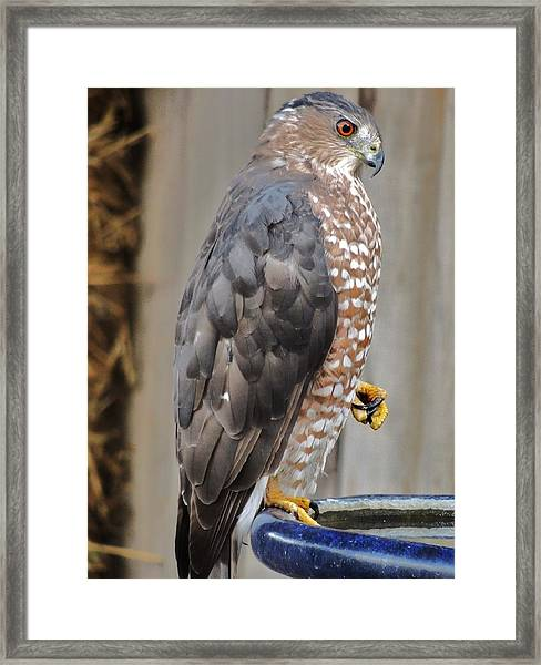 Coopers Hawk 2 Framed Print