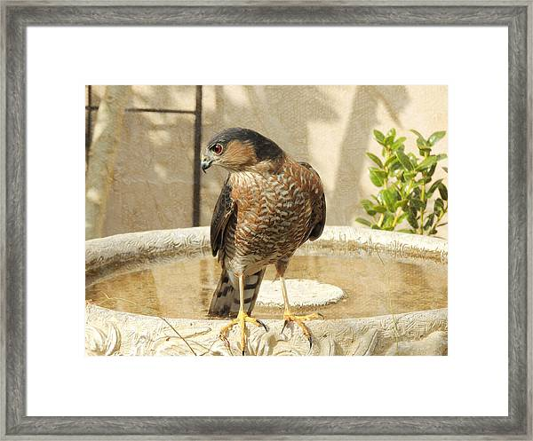 Cooper's Hawk At The Bird Bath Framed Print