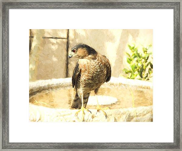 Cooper's Hawk At The Birdbath Framed Print